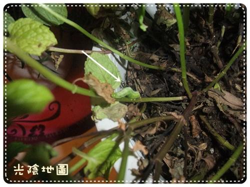 20100412薄荷葉上的毛毛蟲.jpg