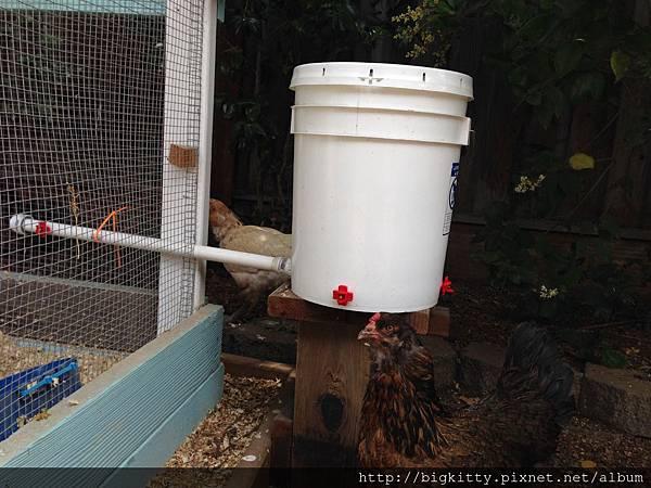 chicken water feeder