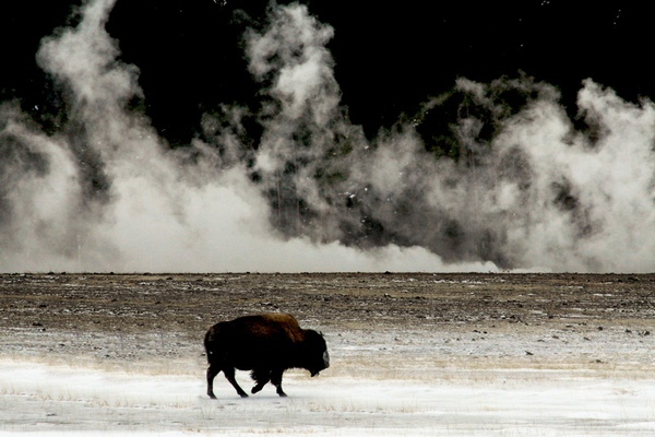 02 Dennis K. Chin          Yellowstone Buffalo.jpg
