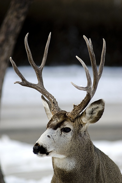 21 Donnie Sexton             Mule deer.jpg