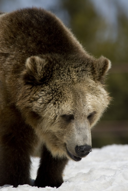 10 Donnie Sexton       Grizzly at Grizzly Discovery Center.jpg