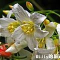 基隆暖暖桐花06.JPG