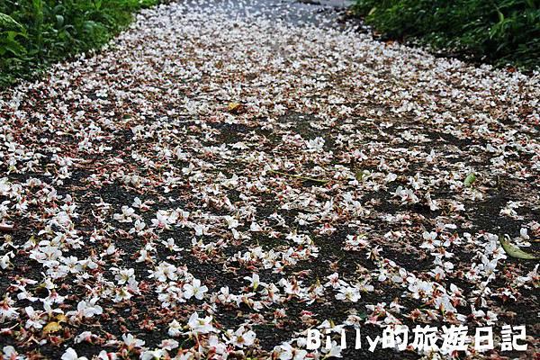 基隆暖暖桐花15.JPG