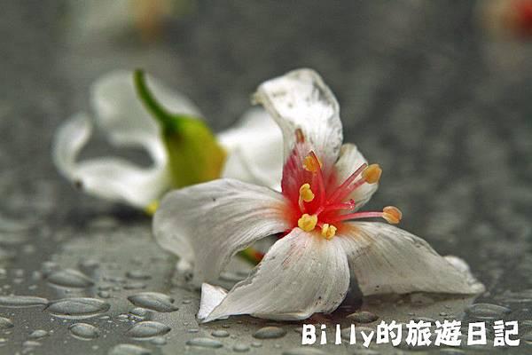 基隆暖暖桐花22.JPG