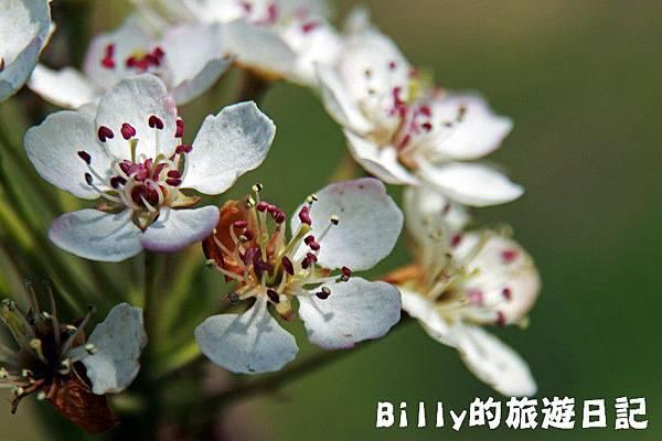 馬祖東莒-桃花01.JPG