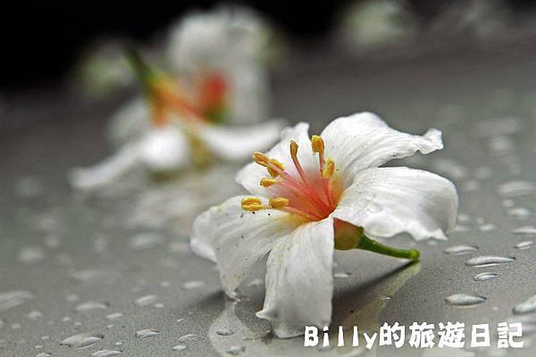 基隆暖暖桐花27.JPG