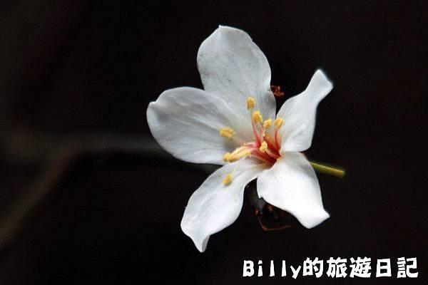 2011七堵桐花027.JPG