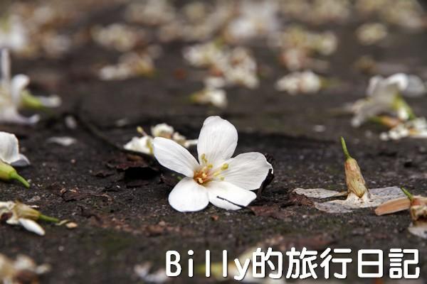 基隆油桐花季201302