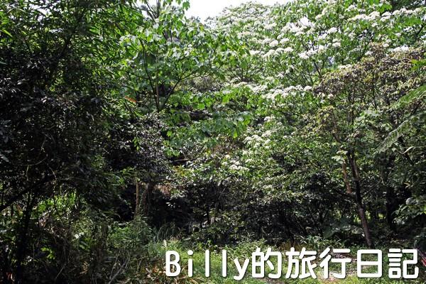 基隆油桐花季201305
