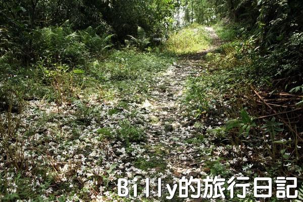基隆油桐花季201306