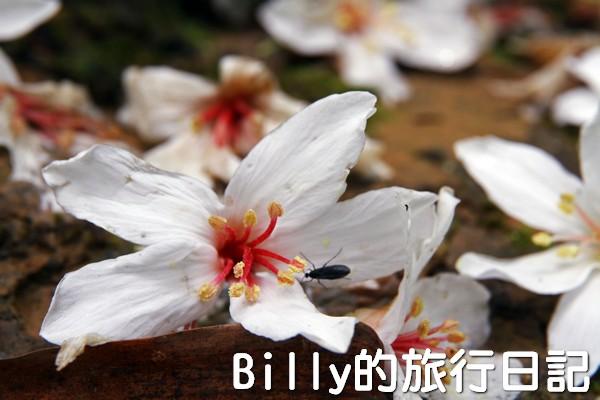 基隆油桐花季201307