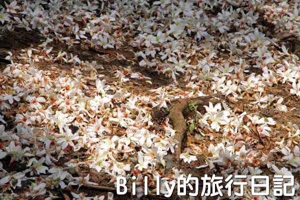 基隆油桐花季201308