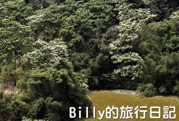 基隆油桐花季201309