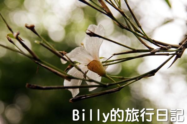 基隆油桐花季201315