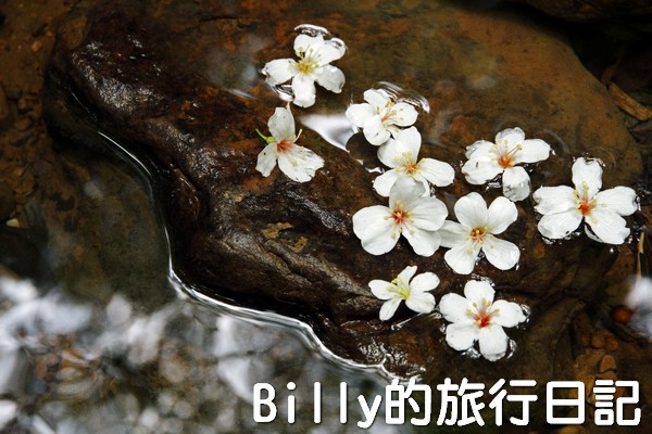 基隆油桐花季201317