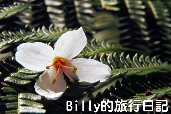 基隆油桐花季201324