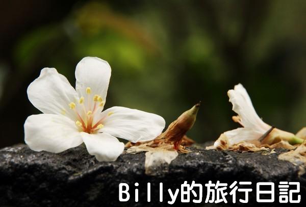 基隆油桐花季201327