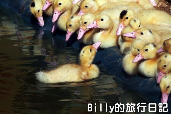 黃色小鴨桃園012.jpg