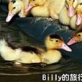 黃色小鴨桃園013.jpg