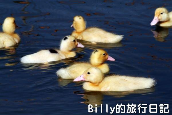 黃色小鴨桃園014.jpg