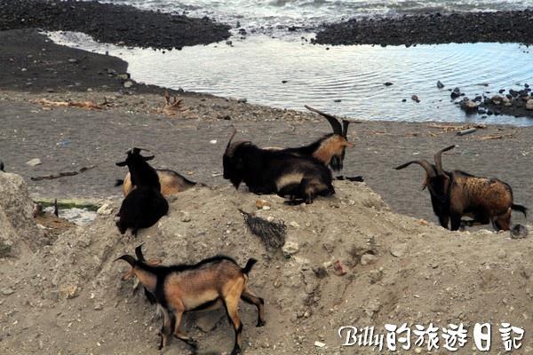 蘭嶼旅遊-自由自在的山羊002.jpg