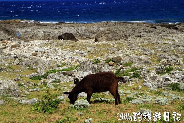 蘭嶼旅遊-自由自在的山羊006.jpg