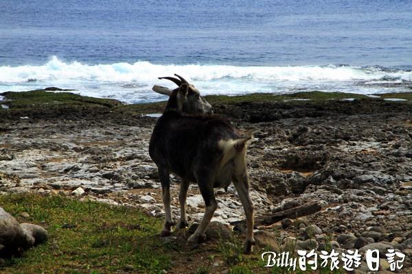 蘭嶼旅遊-自由自在的山羊010.jpg