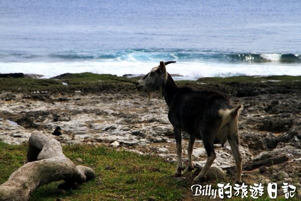 蘭嶼旅遊-自由自在的山羊011.jpg