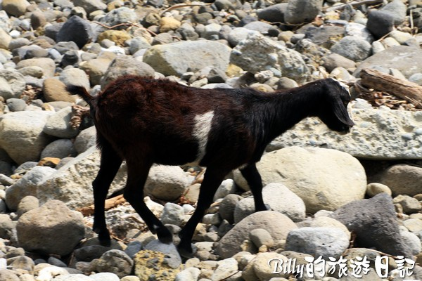 蘭嶼旅遊-自由自在的山羊016.jpg