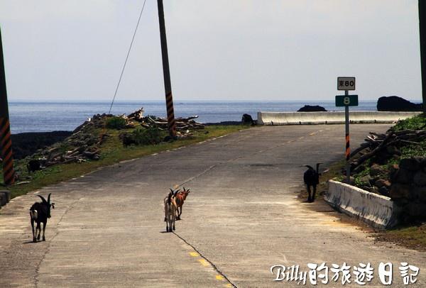 蘭嶼旅遊-自由自在的山羊017.jpg