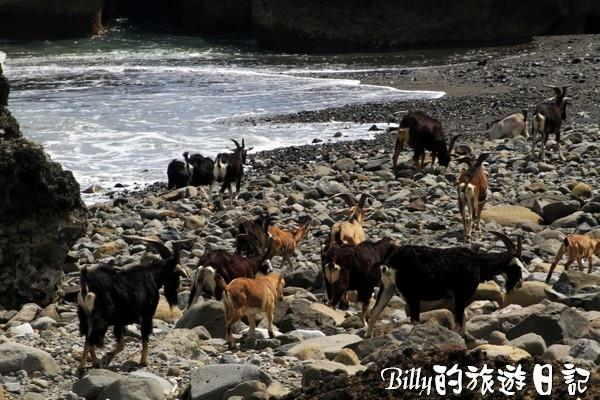 蘭嶼旅遊-自由自在的山羊018.jpg