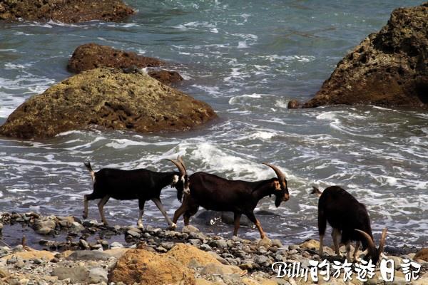 蘭嶼旅遊-自由自在的山羊020.jpg