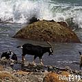 蘭嶼旅遊-自由自在的山羊021.jpg