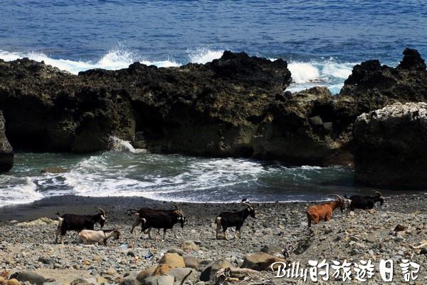 蘭嶼旅遊-自由自在的山羊023.jpg