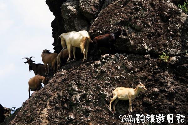 蘭嶼旅遊-自由自在的山羊029.jpg