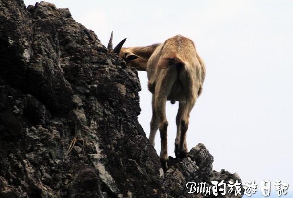 蘭嶼旅遊-自由自在的山羊031.jpg