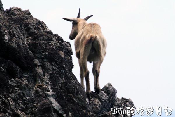 蘭嶼旅遊-自由自在的山羊034.jpg