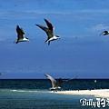 澎湖旅遊景點 - 澎湖的燕鷗002.jpg