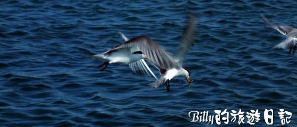 澎湖旅遊景點 - 澎湖的燕鷗001.jpg