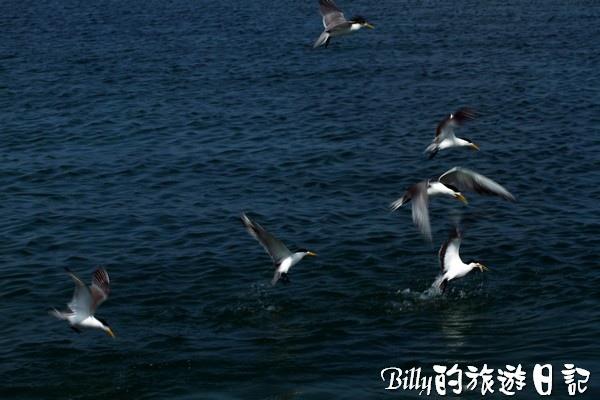 澎湖旅遊景點 - 澎湖的燕鷗003.jpg