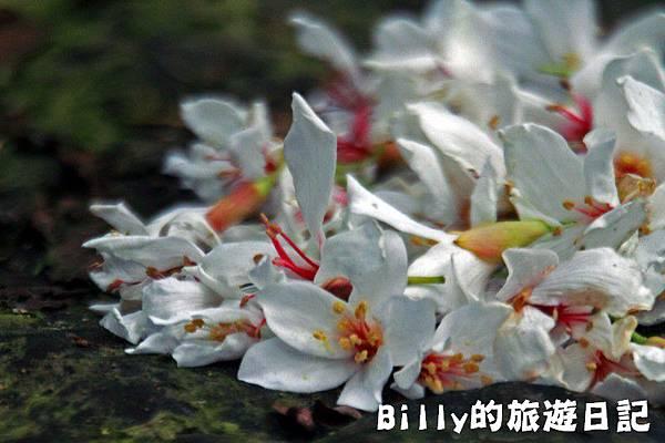 2011七堵桐花029.JPG
