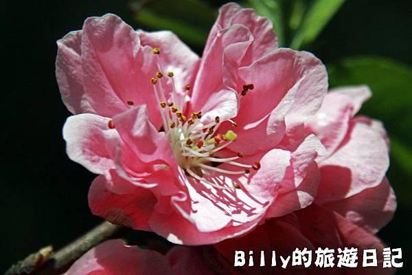 馬祖東莒-桃花25.JPG