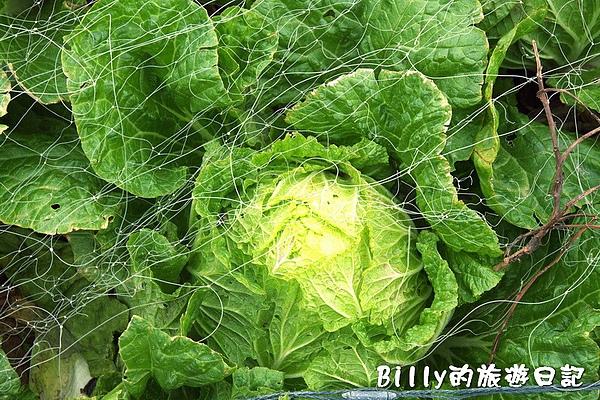 東莒的白菜03.jpg