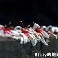 2011七堵桐花009.JPG