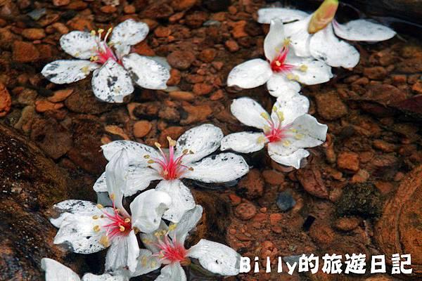 2011七堵桐花006.JPG