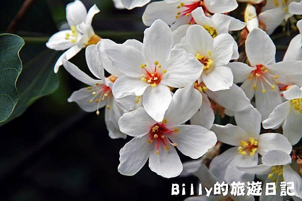 月眉山桐花16.JPG