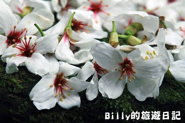 2011七堵桐花018.JPG