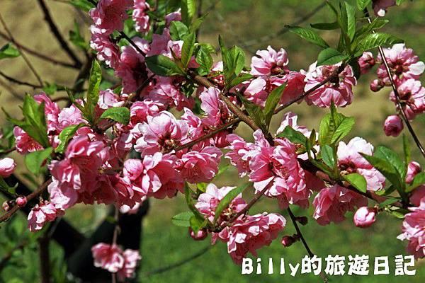 馬祖東莒-桃花09.JPG