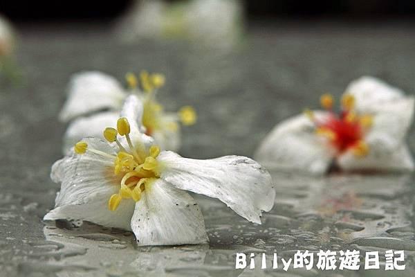 基隆暖暖桐花25.JPG