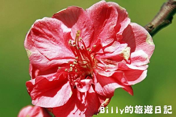 馬祖東莒-桃花19.JPG